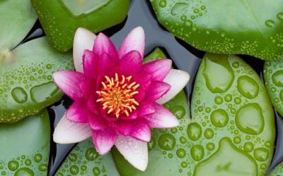 Un percorso di rinascita: da seme nel fango a meraviglioso fior di loto